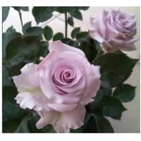 China High quality natural wholesale fresh cut flower PURPLE rose for decoration CHINA best selling on sale