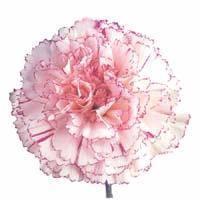 China Fresh Cut Flower (Carnation- Tashkent) on sale