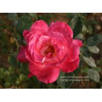 China wholesale rose bare root on sale