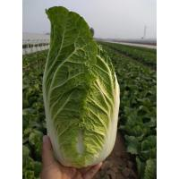 Cheap Healthy Organic Napa Cabbage / Slim Figure Chinese Green Cabbage for sale