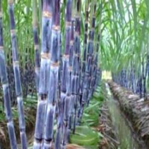 China Sugarcane Extract/Octacosanol(Policosanol)98% on sale