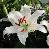 China 2019 China Whowsale fresh cut flowers lily flower from Kunming original flower plants on sale