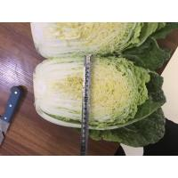 Cheap Natural Hue Fresh Chinese Cabbage No Pesticide Residue Fiber Shin for sale
