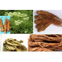 China Functions And Clinical Use Of Dong quai , Angelicae Sinensis Radix on sale