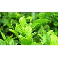China Best Quality Green Tea Extract Powder on sale