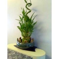 China Lucky Bamboo--Indoor Evergreen ornamental plants on sale