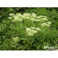China Angelica Extract powder/angelica sinensis extract/ Dong Quai Powder on sale