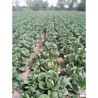 Cheap No Pesticide Fresh Chinese Cabbage Grows In Village Without Pollution for sale
