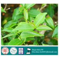 China GMP 100% Natural Green Tea Extract Powder on sale