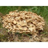 Cheap Polyporus Umbellatus Extract for sale