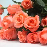 China High quality fresh rose flowers for wholesale pink film star rose on sale