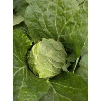 Cheap Yellow Inside Fresh Chinese Cabbage For Frying / Simmering / Mixing for sale