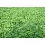 Cheap Alfalfa P.E. for sale