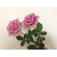 China China High quality fresh rose flowers Purple queen ROSE for wholesale fresh cut flower  rose on sale