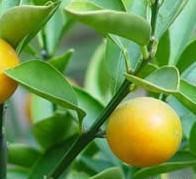Cheap Bitter Orange Extract 98% Hesperidin for sale