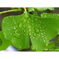 Cheap Ginkgo Biloba extract for sale