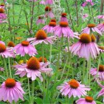 Cheap Echinacea Purpurea Extract for sale