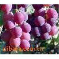 Cheap Grape Seed Extract powder for sale
