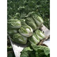 Cheap Green Outside Small Head Cabbage , Chinese Napa Cabbage Japan Standard for sale