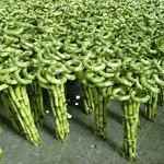 China Indoor evergreen ornamental plants (Lucky bamboo) on sale