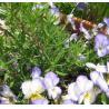 Buy cheap Rosemary Extract (Carnosic acid liquid) from wholesalers