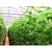 Quality cucumber greenhouse for sale