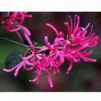 Cheap Witch Hazel Extract, Mainly Used for Medicine, Cosmetic, Food and Raw Materials for sale