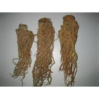 China Chinese Angelica Root / Dong Quai on sale