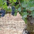 Cheap Grape Tree Bird Netting for sale