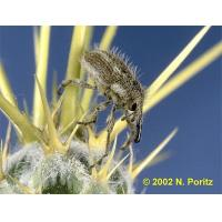 Buy cheap Yellow Starthistle Hairy Weevil from wholesalers