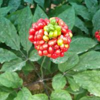 Buy cheap Panax Ginseng Berry Extract from wholesalers