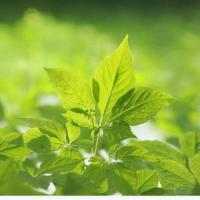 Buy cheap Panax Ginseng Leaf Polysaccharides from wholesalers