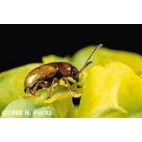 Buy cheap Black Dot Spurge Flea Beetle from wholesalers