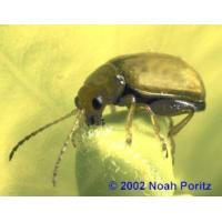 Buy cheap Leafy Spurge Insects from wholesalers